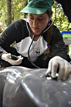 Além da instala??o das tags, também foram feitos exames para verificar a saúde das popula??es de ...  © Adriano Gambarini/WWF-Brasil
