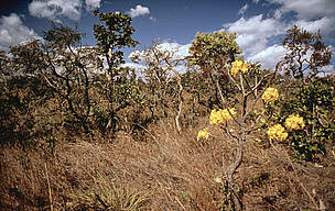 More open Cerrado habitat, showing flowering Ipe tree in the Pirenopolis area, Cerrado, Brazil.  © ? Juan Pratginestos / WWF