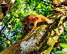 Jupará (Potos flavus), mamífero presente na Amaz?nia brasileira, regi?o do Parque Nacional Montanhas do Tumucumaque