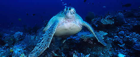 Sea turtle under water rel=
