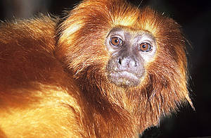 The Atlantic Forest destruction almost exterminated the entire Golden lion tamarin population.