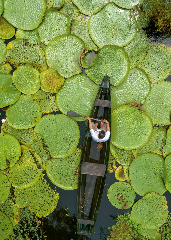 Amazônia: Ribeirinho em canoa em lagoa com vitória-régia (<em>Victoria amazônica</em>) em Careiro - Amazonas