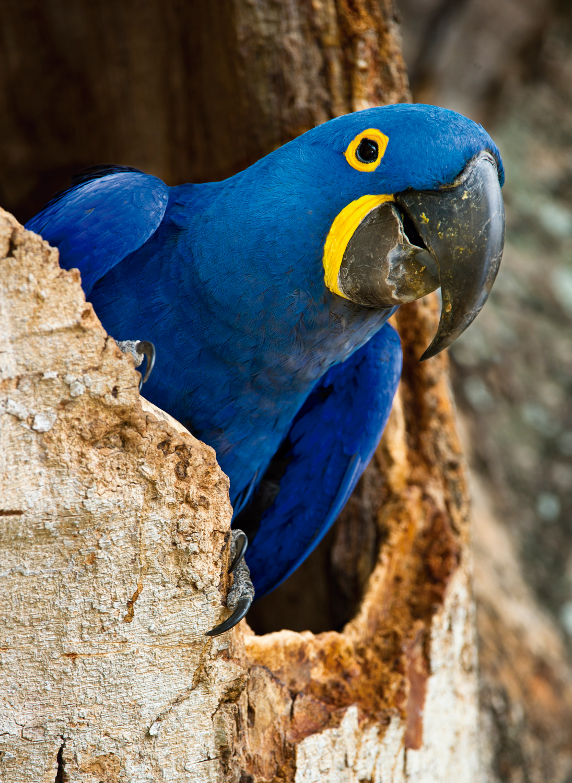 Arara-azul (Anodorhynchus hyacinthinus), no Pantanal, Mato Grosso