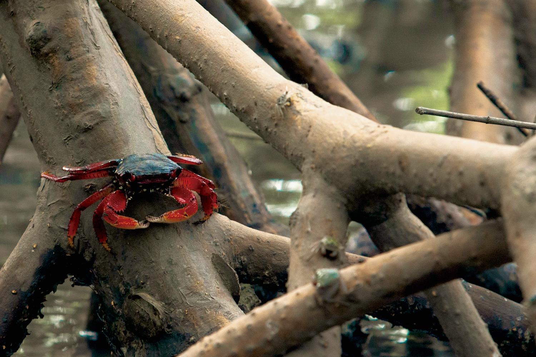 Aratu-vermelho (Goniopsis cruentata) em mangue de Canavieiras – Bahia