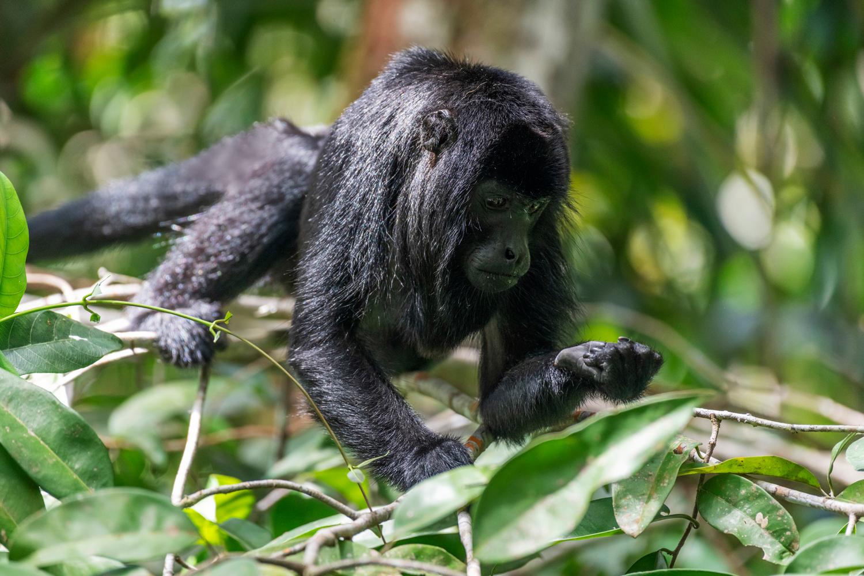 Bugio-preto da Amazônia (<em>Alouatta nigerrima<em>) na Floresta Amazônica em Autazes - Amazonas