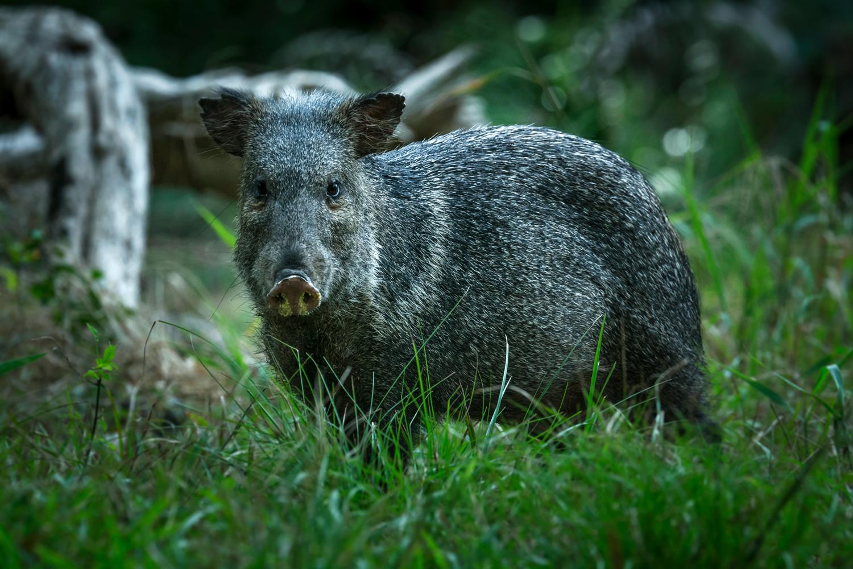 Cateto (Pecari tajacu) também conhecido como porco-do-mato, em Poconé – Mato Grosso