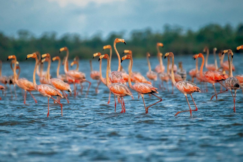 Flamingos (Phoenicopterus ruber) no lago Bonome - Amapá