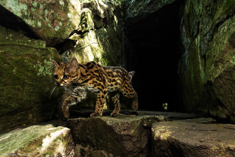 Gato-maracajá em Lavras do Sul - Rio Grande do Sul