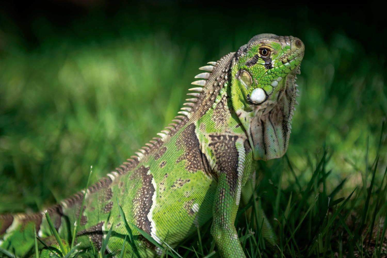 Iguana-verde (Iguana iguana) no sertão caatinga de Delmiro Gouveia - Alagoas
