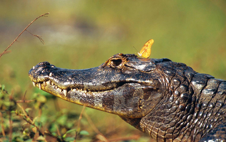 Borboleta-fogo-no-ar (Dryas iulia) pousa sobre a cabeça de um jacaré (<em>Caiman yacare</em>) no Pantanal, Mato Grosso
