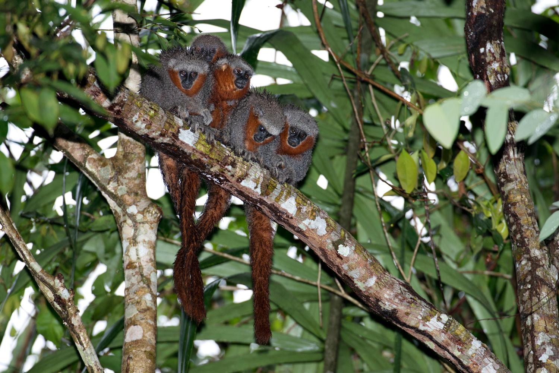 Macaco zogue-zogue-rabo-de-fogo (Callicebus miltoni), no Rio Roosevelt, divisa do Mato Grosso com Amazonas