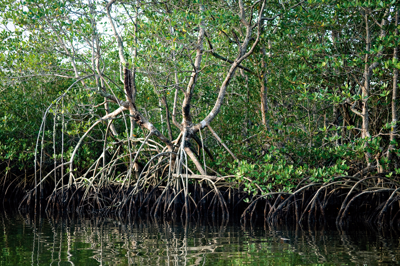 Mata Atlântica: Manguezal no rio Verde, Estação Ecológica Juréia-Itatins, em Iguape – São Paulo