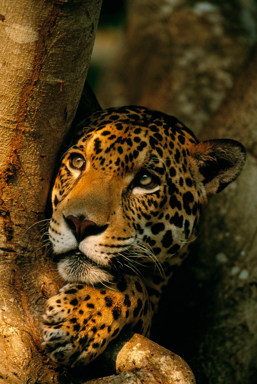 Onça (Panthera onca) no pantanal, Mato Grosso