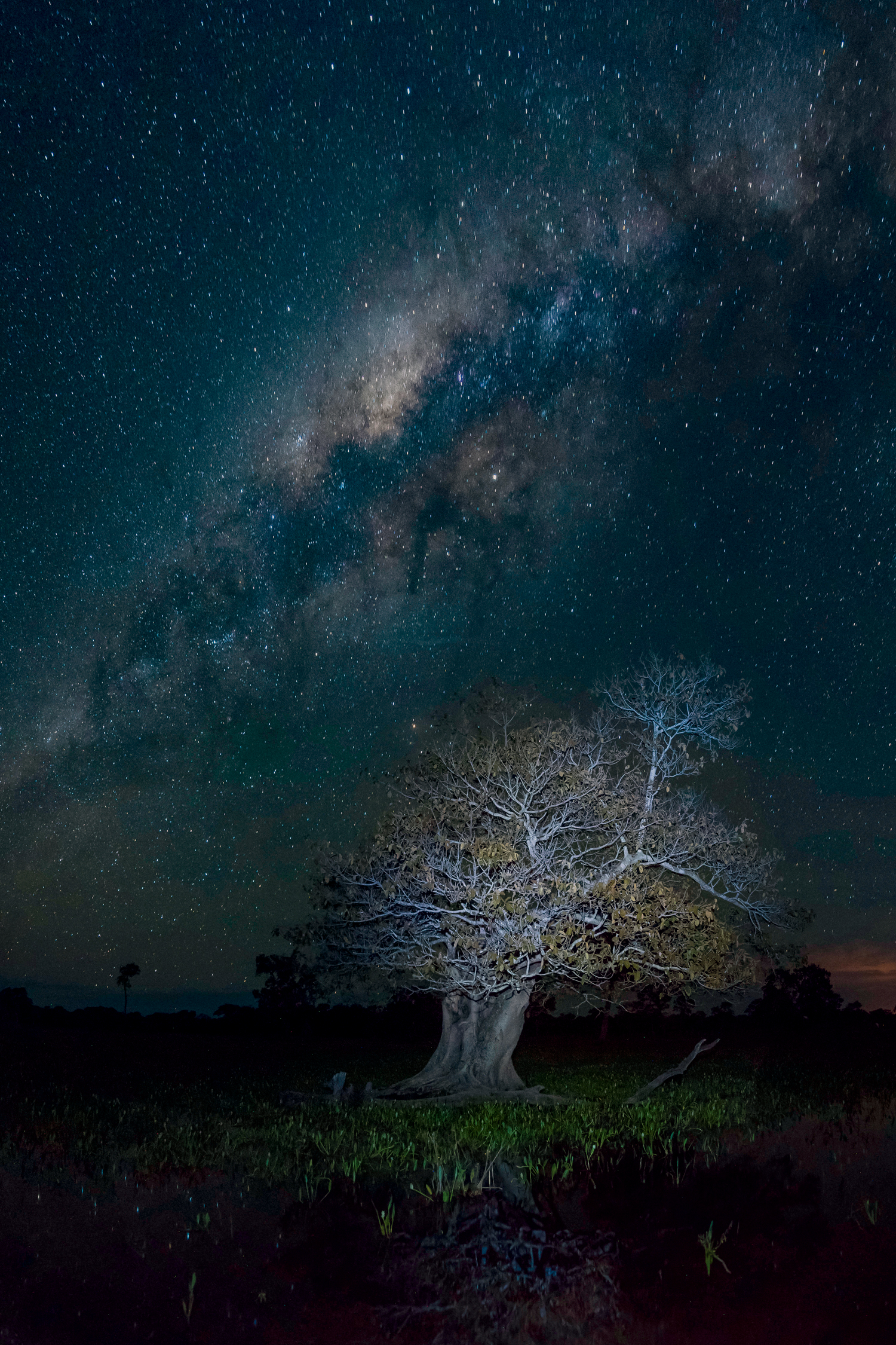 Pantanal: Figueira e céu estrelado, lagoa Piuval à noite, Pantanal em Poconé – Mato Grosso