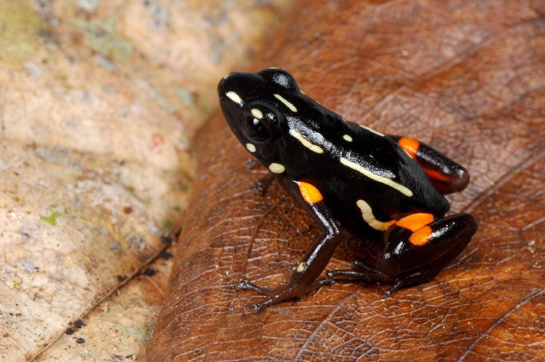 Sapinho-ponta-de-flecha ou sapo venenoso da castanha do Brasil (<em>Dendrobates castaneoticus</em>) em Terra do Meio - Amazonas